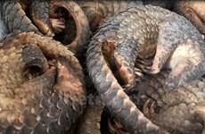 Malaysia posts record pangolin seizure