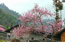 Peach blossom festival in Dong Van stone plateau