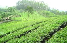 Phu Tho to invest 5 million USD in tea industry development