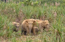 Wild elephants destroy fields in Dong Nai