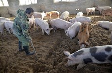 Trade ministry ensures pork supply despite African swine fever outbreak