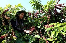 Vietnam supplies one quarter of Japan's coffee import