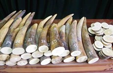 Da Nang customs uncovers 9.1 tonnes of goods suspected as tusks