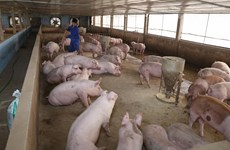 Forming value chains to enhance competitiveness for pig farmers