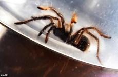 Philippine customs seize huge amount of smuggled tarantulas