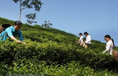 Vietnam's tea exports edge up 15.4 percent in Q1
