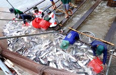 Boosting tra fish quality urged to match up to Chinese competition