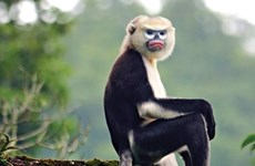 Ha Giang makes progress in Tonkin snub-nosed monkey conservation