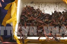 Ministry cracks down on trade, consumption of banned crawfish