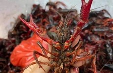 Market watchdog tightens fight against imports of banned crawfish