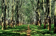 Vietnam Rubber Group plans FSC certification for rubber forests