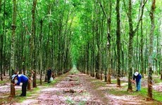 Vietnam earns 662 million USD from rubber exports
