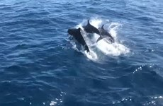 Killer whales seen in Thailand's Koh Tao waters