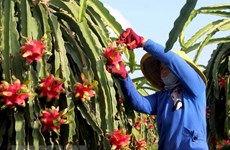 High-quality dragon fruit varieties crucial to boosting exports