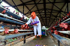 Indonesian poultry farmers anxious over price drop