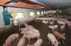 African swine fever spreads over 62 localities