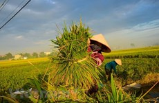 RoK helps Vietnam improve rice value chain
