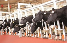 TH Group proposes 6 trillion VND milk cow breeding project in Quang Ninh