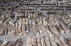 Singapore seizes record haul of illegal ivory