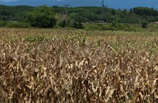 Drought may hit 65,500ha of farmland in central region