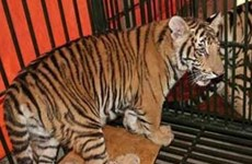 Wildlife crime challenges Vietnam's tiger conservation efforts