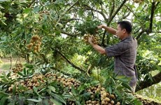 2019 Hung Yen longan week opens in Hanoi