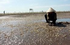 Oysters die en masse in Thai Binh