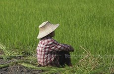 Thailand to spend over 1 bln USD on rice, oil palm price guarantees