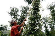 Revenue from pepper exports to Germany soar despite falling prices