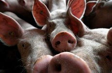 Philippines: African swine fever spreads to Manila