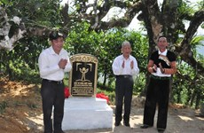 Ancient tea trees in Yen Bai receive recognition