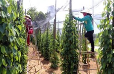 Vietnam's pepper sector targets sustainable development