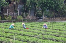 Tien Giang develops specialised vegetable-growing areas