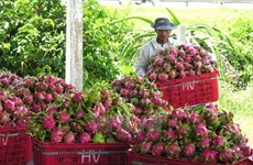 Sustainable production sought for dragon fruit as China raises import standards