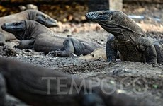Indonesia to build museum dedicated to Komodo dragons