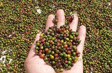 Firms cautioned when exporting pepper to Myanmar