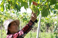 Ninh Thuan farmers grow more foreign grape varieties