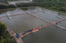Bac Lieu to expand 2 sustainable shrimp farming models