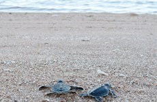 Over 1,500 baby turtles released at Nui Chua National Park