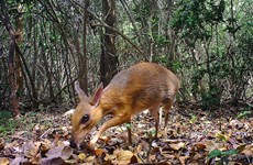 World's smallest ungulates spotted in Vietnam after nearly 30 years