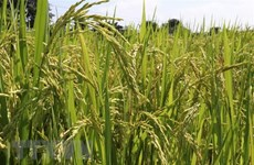 Vietnam gets help with rice cultivation