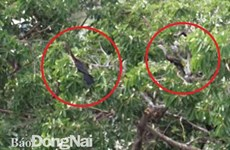 About 500 snakebirds discovered in Dong Nai province