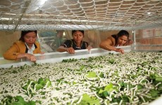 Lam Dong sericulture farmers find livelihoods steady