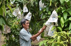 Dong Thap province to expand area under mango
