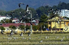 Rare storks appear in northern Dien Bien province