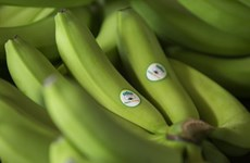 HAGL Agrico exports first batch of bananas to China