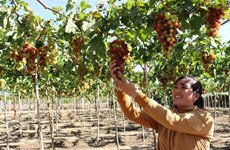 Ninh Thuan targets sustainable grape production