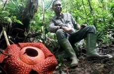 World's largest flower spotted in Indonesia