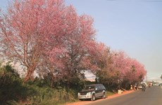 Cherry blossoms warm up Da Lat's winter