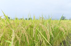 Thailand's rice exports struggle to hit 8 million tonnes